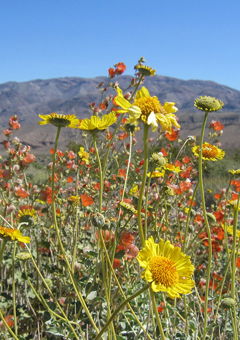 Wildflower super bloom in Death Valley.